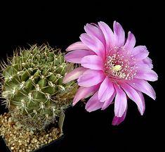 Echinopsis callichroma
