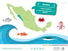 Sinaloa es la entidad que concentra mayor número de personas dedicadas a la pesca. SAGARPA SAGARPAMX #MéxicoSiembraÉxito