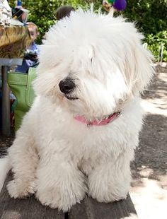 images of coton de tulear dogs - Google Search