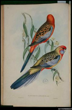 Also known as the Smutty Parrot and Brown's Parrot, the Adelaide Rosella (Platycercus elegans adelaidae) ranges from the southern Mount Lofty Ranges to the lower Flinders Ranges. It eats seeds and fruits and nests in a hole in a tree. Considered a subspecies of the Crimson Rosella. John Gould, 1848.