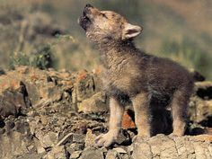 Nature | We Heart It | wolf