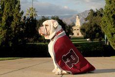 Meet Thurber , the English Bulldog Mascot for the University of Redlands in Southern California. (Photo from www.edu) Graduatio. Redlands California, California Dreamin', University Of Redlands, Bulldog Mascot, Oakland Raiders, Bullies, Birthdays, Meet, English