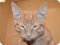 This cute and handsome little boy kitten is ALTON.  He is available for adoption at Contra Costa Animal Services in Martinez, CA.  Won't you consider giving a gorgeous little kitten a FOREVER loving home.  Please network & share so we may find ALTON a home.