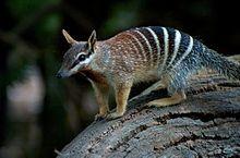 Numbat Wikipedia Animals Australian Animals Numbat