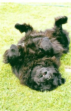 Newfoundland dog... typical resting pose, always in the yard in the sun, baking her brain.