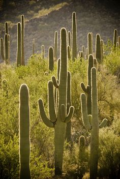 Saguaro National Park, Arizona; beware of rattlesnakes when hiking!