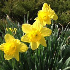 Daffodils are just starting to bloom here at the farm.