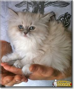 Read Muggzy the Himalayan kitten's story from USA and see her photo at Cat of the Day http://CatoftheDay.com/archive/2011/November/12.html .