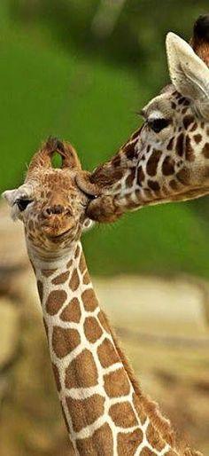 TOP 10 Emotional photos of animals Soo cute The Animals, Baby Animals, Funny Animals, Animals Kissing, Unique Animals, Beautiful Creatures, Animals Beautiful, Animal Pictures, Cute Pictures