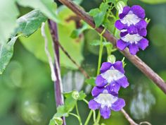 The trumpet-shaped flowers of Asarina (Climbing Snapdragon) attract hummingbirds and butterflies, Here are some tips for growing snapdragon vine. Garden Trellis, Garden Plants, House Plants, Container Plants, Container Gardening, Container Flowers, Pot Jardin, Pot Plante, How To Attract Hummingbirds