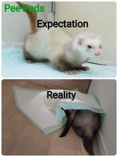 A fascinating grab bag of facts and fiction theories and thoughts folklore fantasies and fripperies about ferrets and the whole marvellous mustelid family Ferrets Care, Baby Ferrets, Funny Ferrets, Ferret Meme, Pet Ferret, Ferret Toys, Cute Little Animals, Cute Funny Animals, Animals And Pets