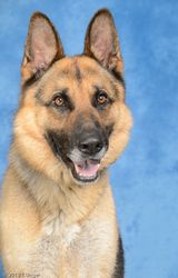 Ranger is an adoptable German Shepherd Dog Dog in Tinley Park, IL. Ranger is an absolutely gorgeous boy who recently came to us from another shelter where he ran out of time. �He is incredibly smart a...