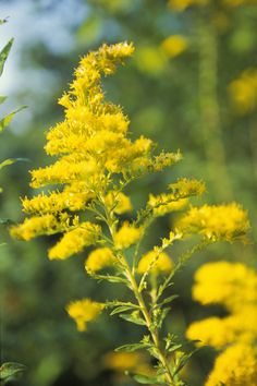 South Carolina State Wildflower | Goldenrod