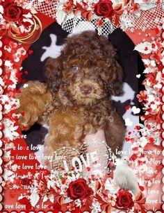 62 Best Australian Labradoodles Images Labradoodle Pup