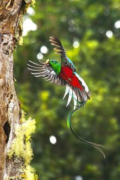 "giraffeinatree: "" (via / ""Resplendent Quetzal"" by Álvaro Cubero Vega) "" Pretty Birds, Beautiful Birds, Animals Beautiful, Exotic Birds, Colorful Birds, All Birds, Love Birds, Bird Wings, Fauna"