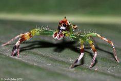 Big-Eyed Jumping Spider