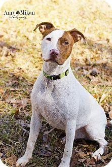 Atlanta, GA - Pit Bull Terrier Mix. Meet Button a Dog for Adoption.