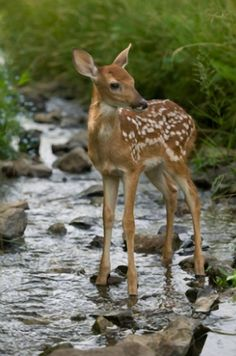 Spotted Baby deer - Fawn standing in the shallow rocky stream, his ears high and alert, listening carefully. Nature Animals, Woodland Animals, Animals And Pets, Forest Animals, Wild Animals, Deer Pictures, Animal Pictures, Beautiful Creatures, Animals Beautiful