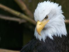 killing bald eagles has been illegal since 1962. California wind farm seeks permit to kill eagles ... http://www.breitbart.com/system/wire/upiUPI-20130927-131354-9098 09/27/13
