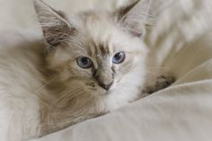 If you have a diabetic cat, you want to make sure their diet is high-protein then these guidelines will help you choose the best canned food for your cat.
