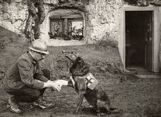 A WWI allied soldier bandages the paw of a Red Cross working dog in Flanders Belgium May 1917.