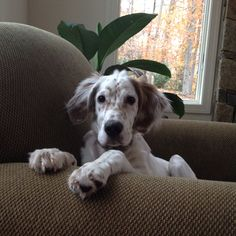 English Setter puppy-- looks just like our Skyler!