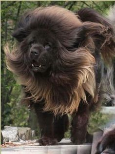 In Tibet - Tibetan Mastiff dogs are traditionally kept with Lhasa Apsos, who alert them to the appearance of a stranger. Their coat doesn't shed, they blow their hair once a year (? Huge Dogs, Giant Dogs, I Love Dogs, Tibetan Mastiff Dog, Mastiff Dogs, Animals And Pets, Cute Animals, English Mastiff, Large Dog Breeds