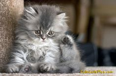 Fluffy gray kitten :)