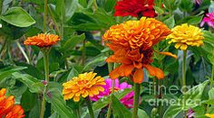 Kay Novy - Colorful Zinnia Flowers