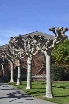 Filoli pollarded trees