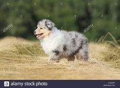 dog-rough-collie-scottish-collie-puppy-blue-merle-standing-in-a-field-D1WDPP.jpg (1300×956)