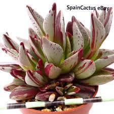 Resultado de imagen para lenophyllum PINTEREST Cacti And Succulents, Planting Succulents, Cactus Y Suculentas, Small Plants, Garden Styles, Houseplants, Outdoors, Gardening, Red