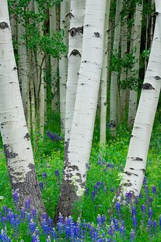 Lupine flowers and aspen trunks near Crested Butte, CO.