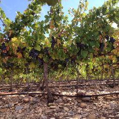 Nuestro viñedo de Graciano esperando la vendimia. Our Graciano vineyard waiting for harvest 2015. Sarria Winery. Bodega de Sarría.
