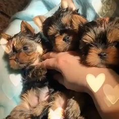 Teacup Yorkie For Sale, Yorkie Puppy For Sale, Teacup Puppies For Sale, Yorkshire Terrier Puppies, Chihuahua Puppies, Cute Dogs Breeds, Dog Breeds, Cutest Animals, Funny Animals