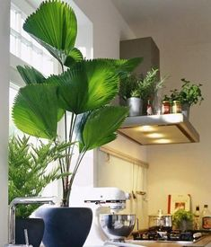 Licuala-Palme - Bild 5 - [LIVING AT HOME]