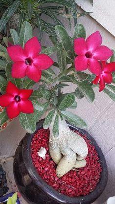 ♥ rosa do deserto ♥ Succulent Adenium Plant.