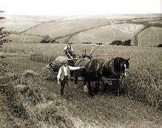 Two farm workers cut barley using a horse-drawn reaper-binder at St. Columb Minor, near Newquay, Cornwall - UK - 15 August 1932