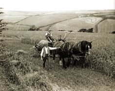 Two farm workers cut barley using a horse-drawn reaper-binder at St. Columb Minor, near Newquay, Cornwall - UK - 15 August 1932