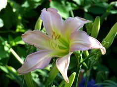 'Dallas Star' daylily by Willow House Chronicles