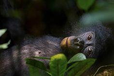 IlPost - 3° premio storie, Natura - Christian Ziegler, BONOBOS - OUR UNKNOWN COUSINS 1 giugno 2011 Un giovane femmina di bonobo nel parco nazionale di Salonga, nella Repubblica Democratica del Congo, si riposa dopo aver fatto un pasto abbondante. Pur essendo i parenti più stretti degli esseri umani, i banoba sono degli animali su cui non si sa molto.    (World Press Photo 2014)