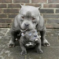American Pitbull – All You Want to Know About This Breed – Pets and Animals Pitbull Dog Puppy, Bully Dog, Pitbull Terrier, Bull Terriers, Blue Pitbull, Terrier Dogs, Cute Dogs And Puppies, Baby Dogs, Doggies