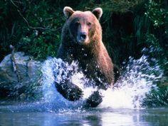 Grizzly Bear Running in Kinak Bay, Katmai National Park, U.S.A. Photographic Print