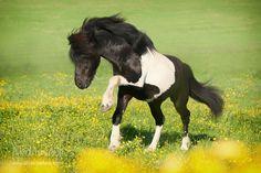 Atli from Birkenhof, Icelanders by Daniela Icelandic Horse, Centaur, Pony, Horses, Horse Stuff, Hobbit, Bridges, Animals, Beautiful