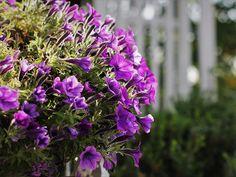 Flores roxas, violetas ou até púrpuras são mais comuns do que imaginamos. Na escala de cores ficam entre o rosa mais forte, com sombras arroxeadas, até quase o roxo profundo. São cores impactantes e atrativas para colocar no jardim. Encontramos árvores, arbustos e herbáceas de médio e pequeno porte, bem como rasteiras de cobertura, com estas cores de flores. #arbustos #fazfacil #flores #Jardim #nativabrasileira #paisagismo #roxo #Trepadeiras #violeta Plants, Plants With Purple Flowers, Deep Purple, Giving Flowers, Flowering Trees, Complimentary Colors, Nuthatches, White Flowers, Purple Colors