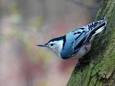 """Eurasian nuthatch striking a pose while looking at the photographer. Their old name """"nut-hack"""" came from their habit of wedging a nut in a tree crevice, and then hacking away at it with their strong bills."""