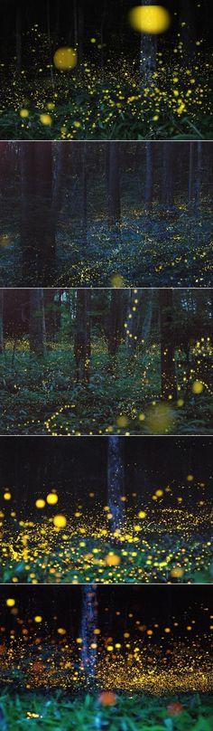 This enchanting forest in the Chūgoku region of Japan, is the home to gold fireflies.  I would love to see this!