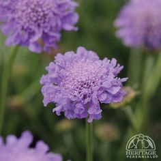 Pincushion flower, Harlequin Blue, Scabiosa columbaria
