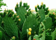 Opuntia Ficus Indica. Prickly Pear--already on my to-plant list.
