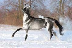 This striking silver Akhal Teke is having fun in the snow. This striking silver Akhal Teke is having fun in the snow. Most Beautiful Horses, All The Pretty Horses, Beautiful Creatures, Animals Beautiful, Rare Horse Breeds, Akhal Teke Horses, Breyer Horses, Appaloosa, Rare Horses